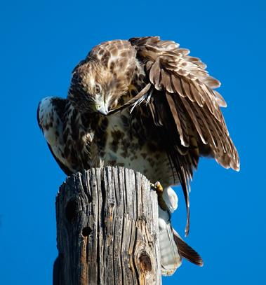 A Red-tailed Hawk Preens Itself