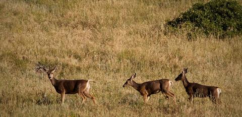 ​Three Mule Deer Look Up