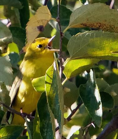 A Singing or Calling Wilson's Warbler