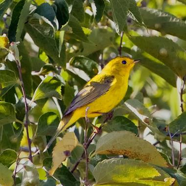 This is Probably a Young Female Wilson's Warbler