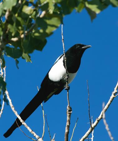 A Black-billed Magpie Does Have a Long Tail