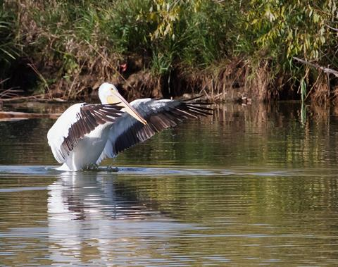 A Pelican Spreads its Wings