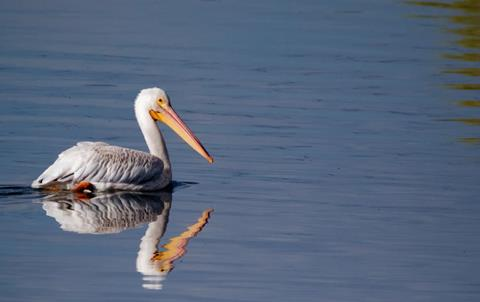 A Prospect Pond Reflects an American White Pelican