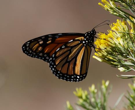 Some Caterpillars Grow Up to Become Monarch Butterflies