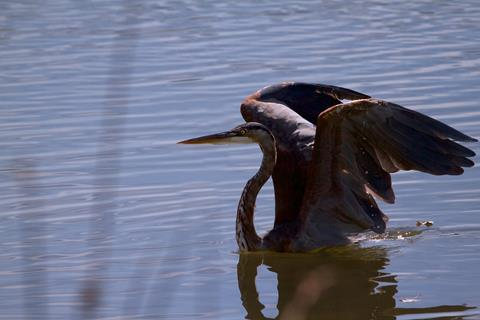 This Heron Uses Its Wings to Get Out of Deep Water