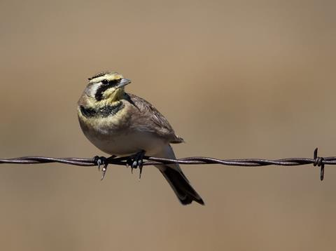 "​This Male Horned Lark Has Small ""Horns"""