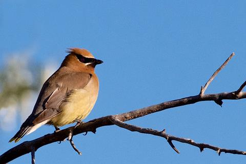 A Cedar Waxwing Is One of My Favorites​