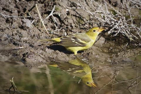​A Female Western Tanager Drinks at the Pond