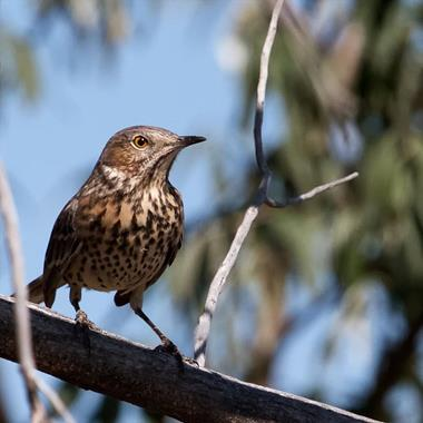 A Sage Thrasher Sit in a Russian Olive