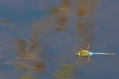 ​A Dragonfly Hunts Over the Pond