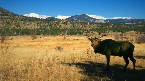 A Bull Elk Studies Me in Moraine Park
