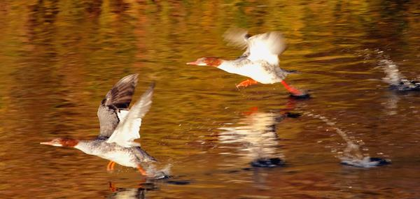 A Pair of Mergansers Take Flight Together