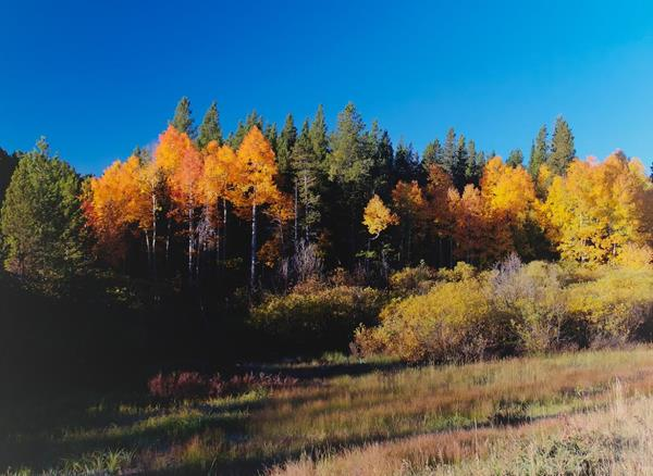 Aspens that Have Turned near Mud Lake