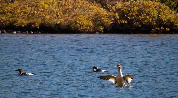 Three Migrating Mergansers on Mitchell Lake