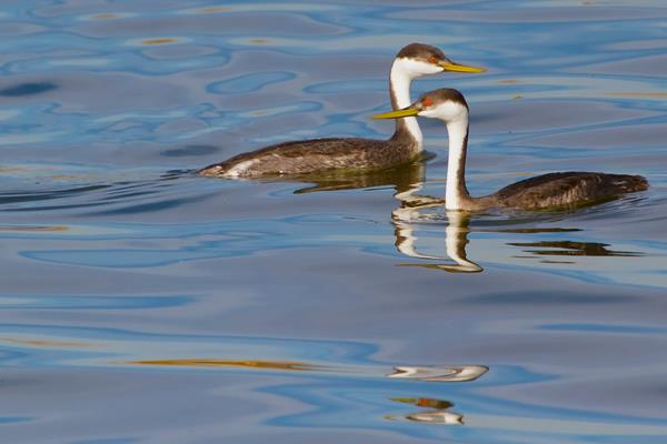 A Pair of Western Grebes Cross