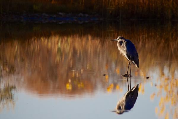 A Great Blue Heron Waits