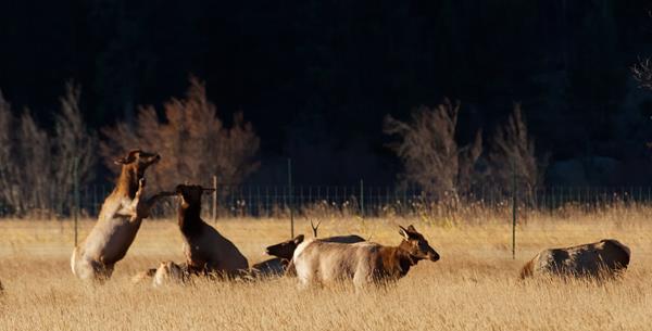Elk Sparring at First Light