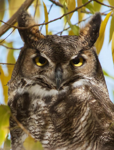 The Great Horned Owl was Close -- But Safe