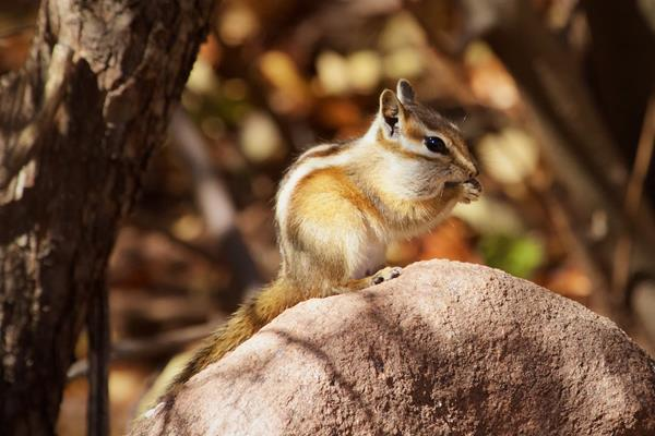A Colorado Chipmunk Enjoys a Seed for Lunch