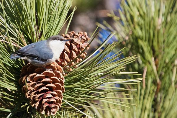 The Pygmy Nuthatch Rests on the Pine Cone