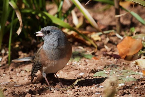 A Junco Finds Seeds to Eat