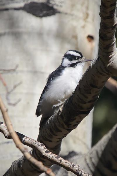 A Female Downy Woodpeckers Rests from its Labor
