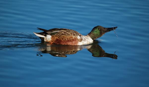​A Male Northern Shoveler in Nonbreeding Plumage