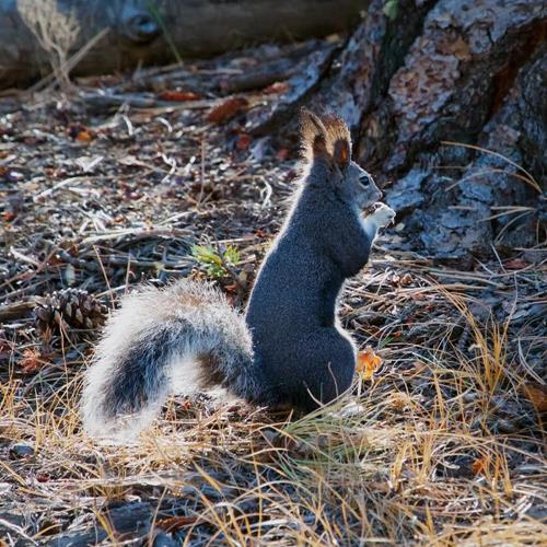 Abert's Are the Only Squirrels That Have Prominent Ear Tufts