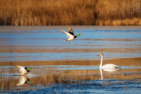 Male Mallards Meet Swan