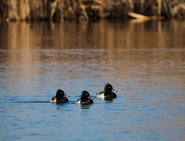 Three Male Ring-necked Ducks Gaze at the One Female