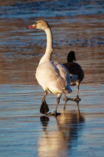 A Tundra Swan on the Ice with a Canada Goose