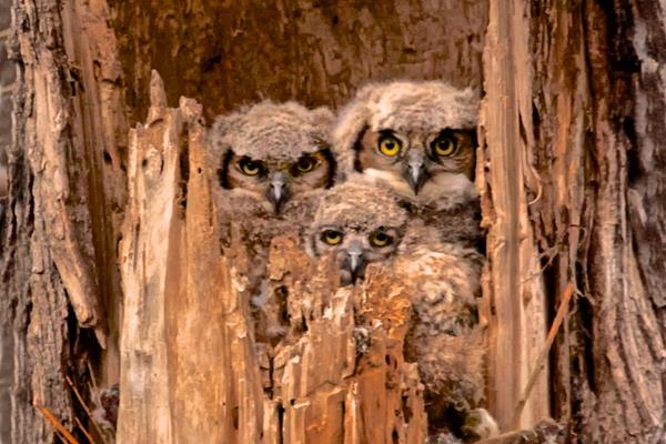 ​A Brood of Three Owlets