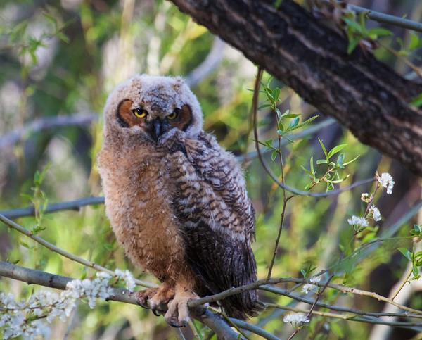 ​A Great Horned Owlet on its First Day of Fledged Freedom​​