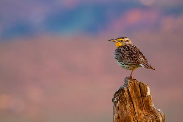 ​A Western Meadowlark at Dawn