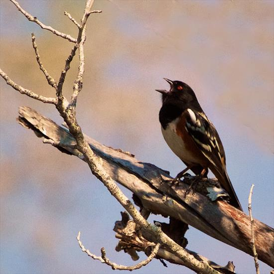 ​A Spotted Towhee Sings