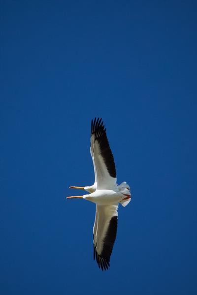 Synchronised Pelican Flight