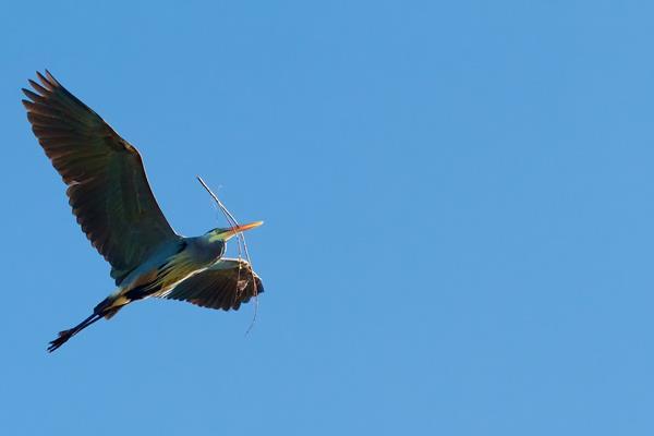 A Great Blue Heron Carries a Little Stick