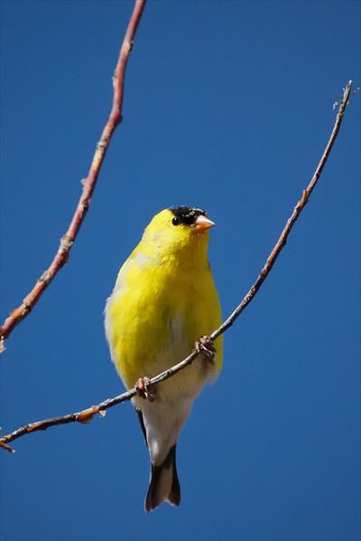 An American Goldfinch Studies the Intruder