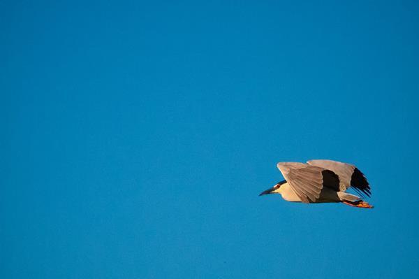 The Night-Heron Flies Away
