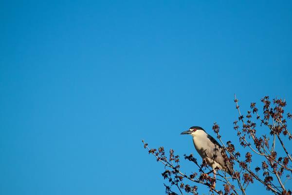 A Black-crowned Night-Heron Waits