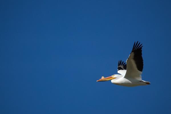 American White Pelicans Get a Bump on the Beak in Breeding Season