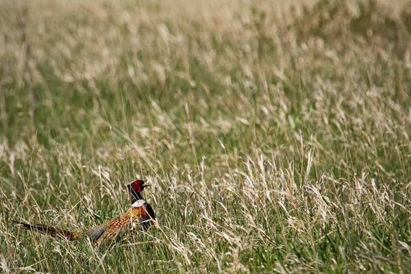 A Male Ring-necked Pheasant