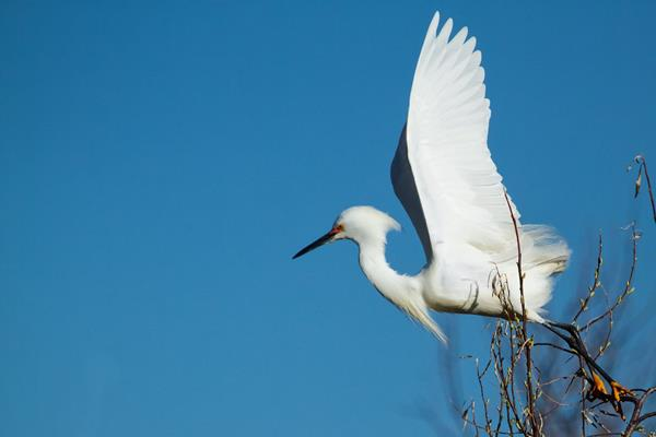 ​A Snowy Egret Takes Off from Its Perch