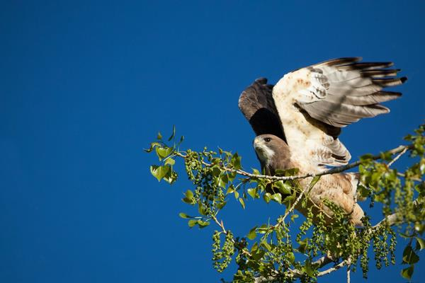 ​A Swainson's Hawk Lifts Off