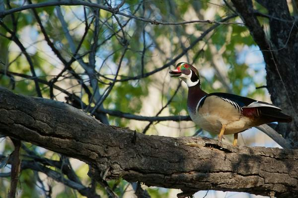 ​A Male Wood Duck Near the Nest