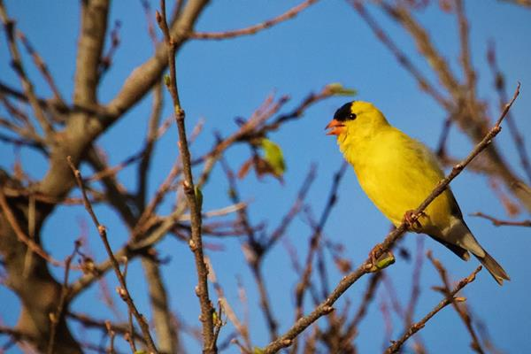 An American Goldfinch Sings