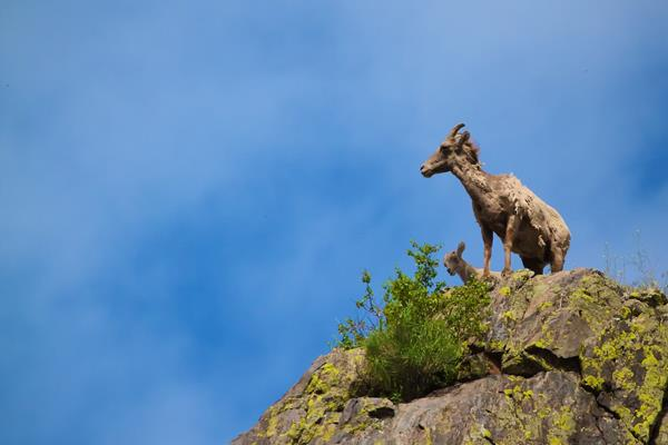 The Classic View of Rocky Mountain Sheep