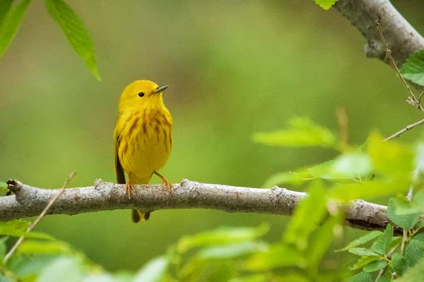 An American Yellow Warbler Is Nice to Me