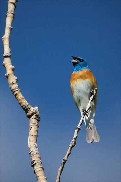 A Lazuli Bunting Is One of Our Most Colorful Visitors