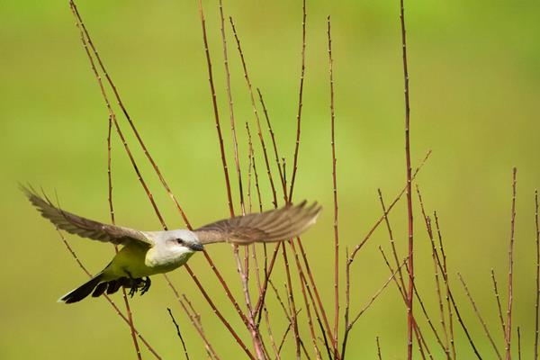 A Western Kingbird Leaves